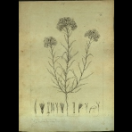 Botanical Drawings of A. Poiret